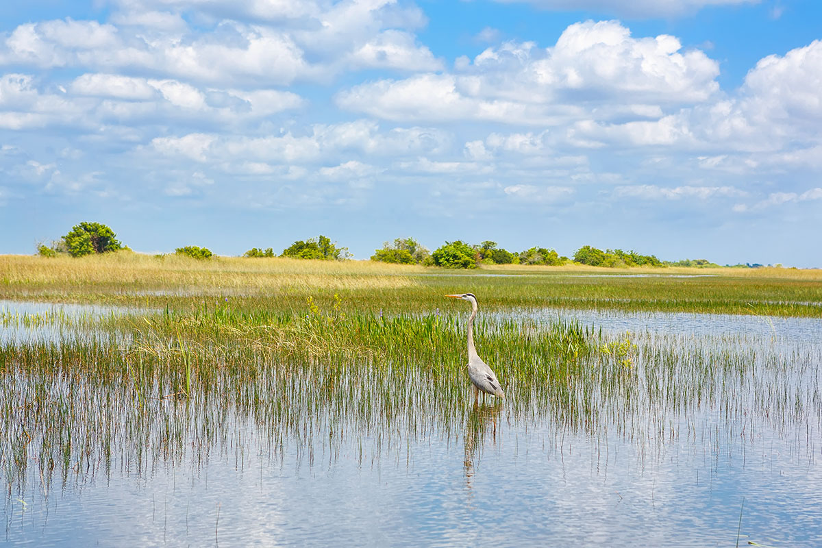 Crane in Florida Wetlands